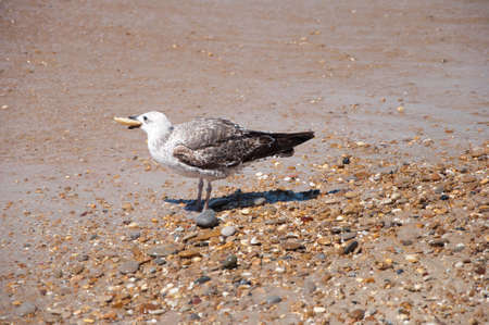 Gull eating in the shore of the beach