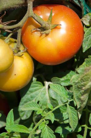 recolectar: Tomates para recopilar