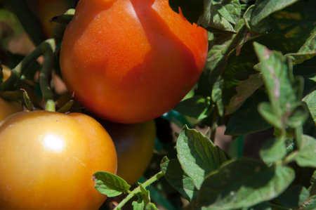 gather: Tomatoes to gather