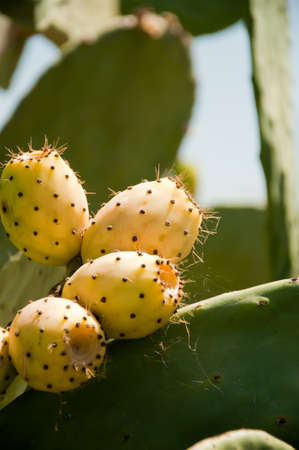 fig prickly pear