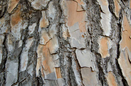 Bark of a pine, tree trunk