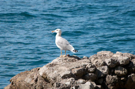 Closeup of one gull perched on rock