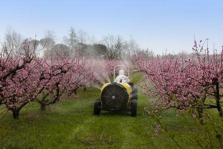 pulverizador: el trabajo agrícola, tractores barril vaporizaciones un tratamiento químico en el huerto de melocotón con flores de color rosa