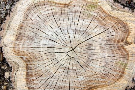 tree felled, section of the trunk with annual rings