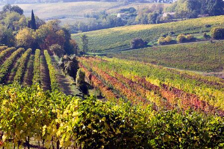 landscape of romagna,  italy, valley with rows of grapevine photo