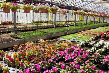 greenhouse - nursery of flowers and plants for garden  photo