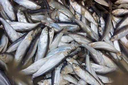 traditional preparation of mediterranean sardines, preserved through immersion on brine Stock Photo - 6698874
