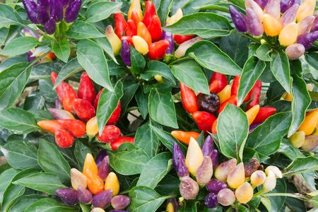 aphrodisiac: plant of ornamental chili in vegetable garden, spicy and natural aphrodisiac