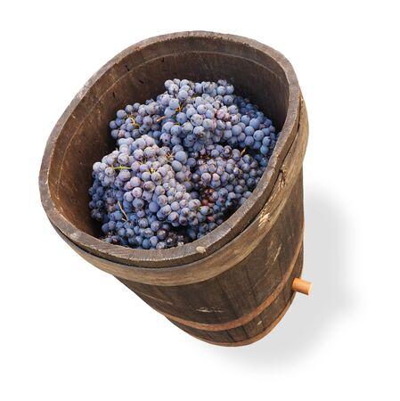oak barrel: old wooden tub with grape for wine making, oak barrel full of grapes bunch