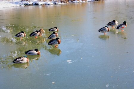 ducks and mallards in the frozen lake, birds in winter with snow and cold temperatures below 0 photo