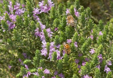 thyme: tijm met bee zuigen nectar van bloemen - tijm is traditionele kruid van het mediterrane keuken Stockfoto