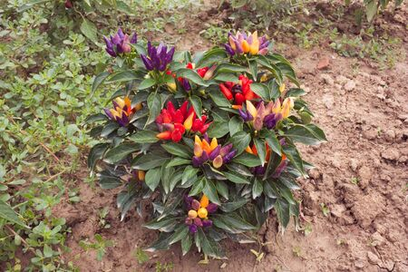 aphrodisiac: multicolored ornamental chili in vegetable garden - plant of spicy natural aphrodisiac  Stock Photo