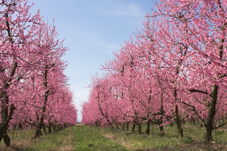 flowering field: spring in the countryside - orchards of peach with pink flowers - blooming farmland  Stock Photo
