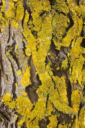 wrinkled rind: wrinkled tree bark of pine overgrown of yellow lichen - wood texture background
