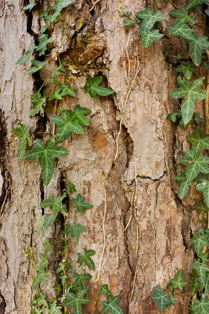 ivy on bark of pine tree - wooden texture background photo