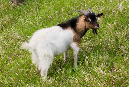 cropping: a goat are cropping the grass in the meadow of the farm