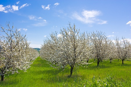 spring in the countryside - flowering trees in orchard - blooming farmland photo