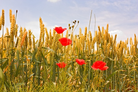 corn flower: wheat field in june - yellow ear of corn and red poppies under a blue sky