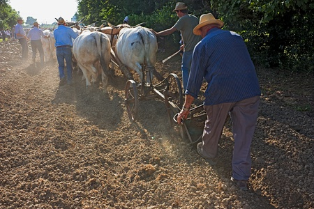 BASTIA, RAVENNA, ITALY - MAY 29: unidentified men plows with bullocks during the festival Remember the old times recall of the old farm work, on May 28-29 2011 in Bastia, Ravenna, Italy
