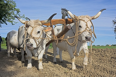 plowed field: bullocks with yoke to pull the plow - old agricultural work recall in the Italian countryside