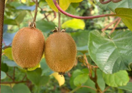 kiwi  fruit: ripe fruits of kiwi plant - organic cultivation in italian orchard of actinidia chinensis