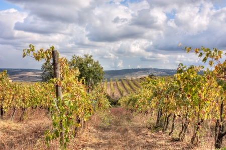 hills of Tuscany with vineyard for production of wines Chianti and Brunello di Montalcino photo