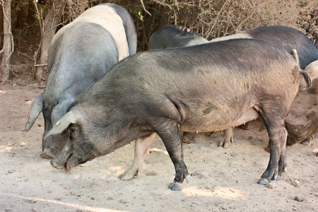 livestock of cinta senese, typical italian breed of pigs photo