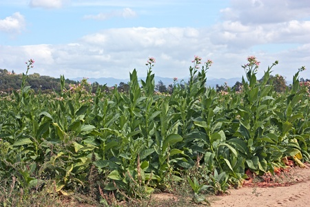 tobacco plant: flowering tobacco plants on italian cultivation, tobacco growing on the hills of tuscany Stock Photo