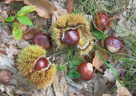 sweet chestnuts and cupule - marron, autumnal fruits of the wood
