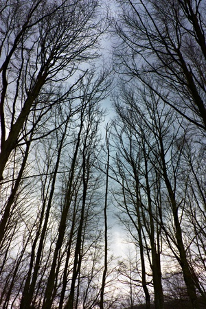 leaden: morning in the forest - silhouette of bare trees at winter dawn with a leaden overcast sky Stock Photo