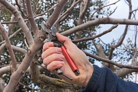 giardinieri: potatura un'opera, inverno, albero, agricolo - un potatore tagliare un ramo con cesoie Archivio Fotografico