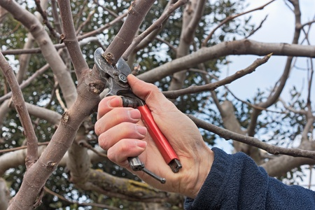 chores: pruning a tree, agricultural winter work - a pruner cutting a branch with shears