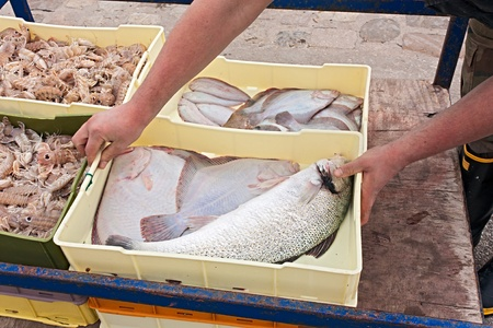 seabass: fisherman with crates of freshly caught fish and crustaceans  sole, turbot, seabass, mantis shrimp