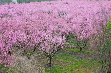 flowering field: spring in the countryside - peach orchard with pink flowers - blooming farmland Stock Photo
