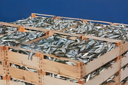 mediterranean sardines, stack of crates of freshly caught oily fish