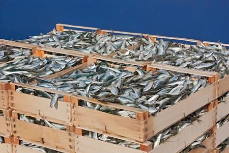 fischerei: Mittelmeersardinen, Stapel von Kisten mit frisch gefangenen fetten Fisch Lizenzfreie Bilder