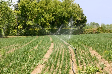 watered: agricultural irrigation - field with young plants watered with the irrigator  Stock Photo