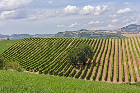 rows of wine grape on the italian hills - rural landscape with vineyard photo