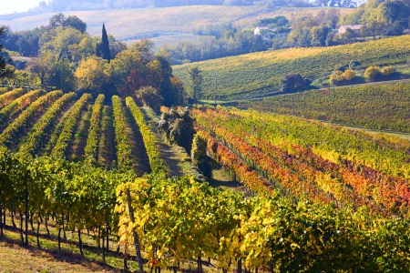 bodegas: Paisaje de colinas italianas, el valle con hileras de vid - Vi�edos de la producci�n de vino en Romagna, Italia