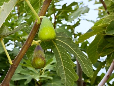 feuille de figuier: ficus carica, fruits mûrs de figue plante