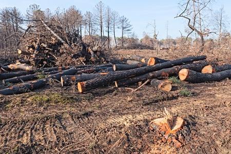 arboles secos: cortar troncos de árboles muertos tras el incendio del pinar - la deforestación, tala de árboles en el bosque quemado Foto de archivo