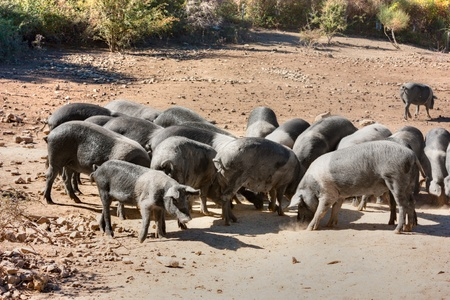 cinta: livestock of cinta senese, typical italian breed of pigs