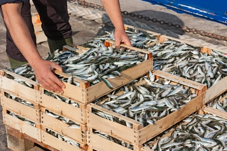 fish store: mediterranean sardines  fisherman making stack of crates full of freshly caught oily fish  Stock Photo