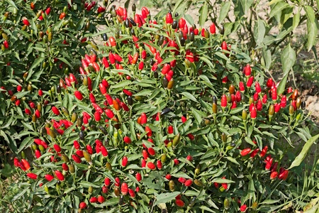 red chili pepper in vegetable garden - plant of small and very spicy chilli  photo