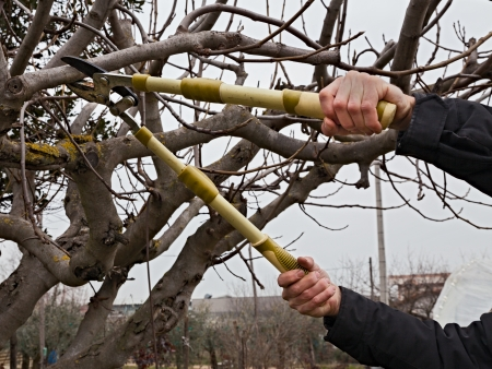 pruning: pruning a tree, agricultural winter work - a pruner cutting a branch with shears