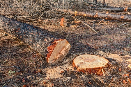 deforested: cut trunks of dead trees after the fire of pinewood - deforestation, cutting tree in the burnt wood