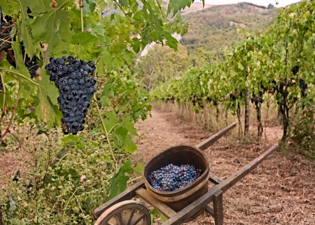 grapes for production italian wine and old wheelbarrow for the transport in vineyard on the hills of Tuscany, Italy