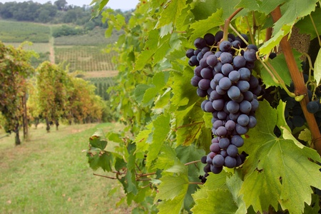 chianti: hills  with vineyard for production italian wine