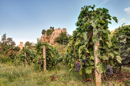 italian vineyard for wine production - rows of grapevine with a castle in the background in Italy photo