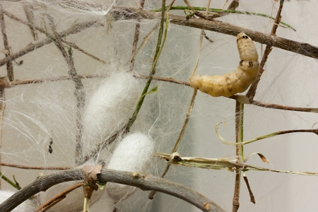 silkworm: cocoons and silkworm for silk making